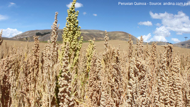 "Quinoa is the best-known of the ""Inca grains"""