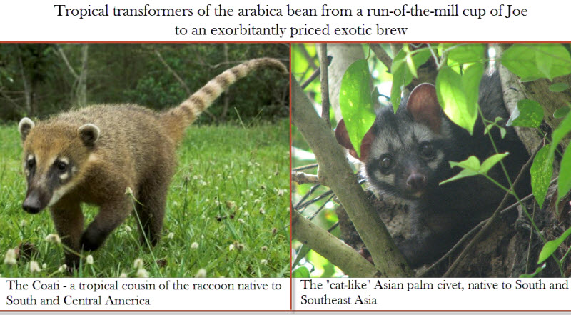 The coffee enhancing digestive tracts of the Peruvian coati and Southeast Asian civet