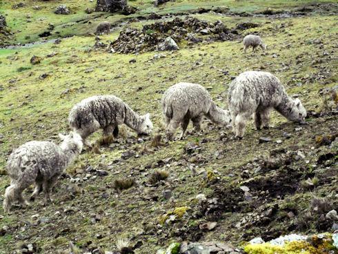 Alpaca grazing in the Chancachacan Valley