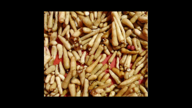 Wild Peruvian root touted for life-extending & libido boosting properties