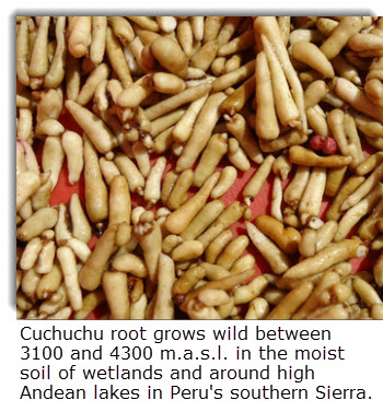 Cuchucho root grows wild between 3100 and 4300 m.a.s.l. in the moist soil of wetlands and around high Andean lakes in Peru's southern Sierra.