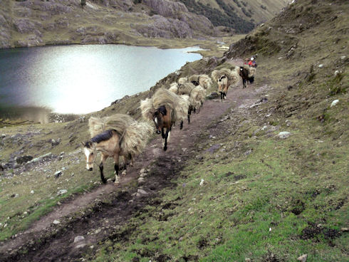 Local villagers lead a line of horses carrying thatch.