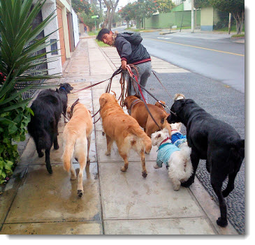 Professional dog-walker in Lima's Miraflores district