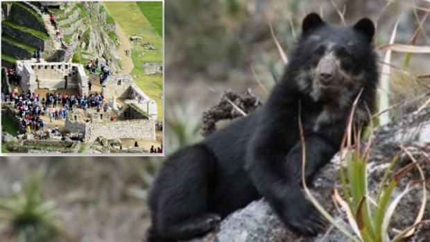Endangered spectacled bears appear to be thriving in the protected Machu Picchu Sanctuary Park.
