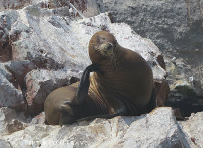 A sea lion leisurely prunes in the afternoon while visitors on a Ballestas islands tour watch from a boat a few feet away.