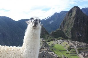 Llama smiling for camera