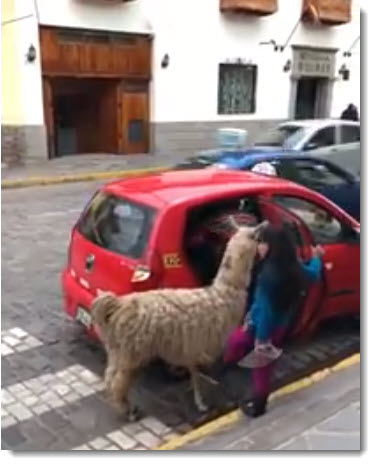 The Peruvian llama, the obedient beast of burden revered by the Inca, sometimes could use a break, like this little guy, who hopped a taxi in the heart of Cusco