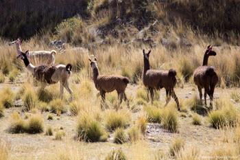 A herd of llamas graze on the high Altiplano along the track of the Altiplano along the tracks of the Central Andean Railway. Photo Fertur Peru Travel - © Manuel Medir Roca