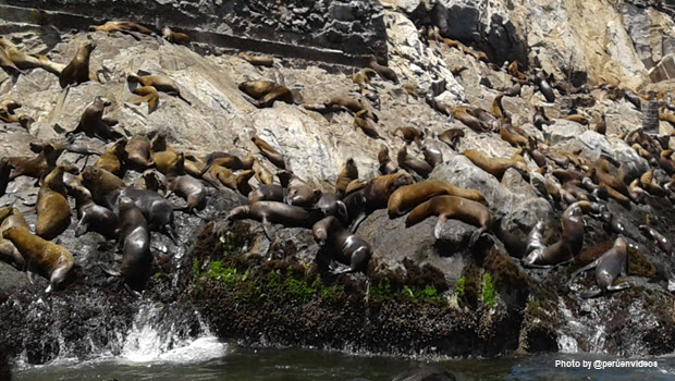 Sea lions on rocks - Image by peruenvideos.com