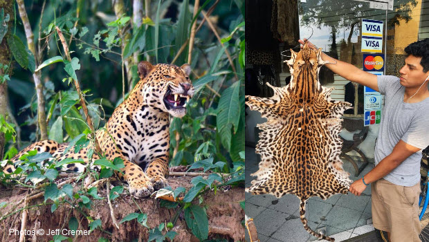 Photo the left a Jaguar in the wild in Peru's Tambopata Reserve and on the right a jaguar pelt for sale in a side street shop in Lima, Peru.