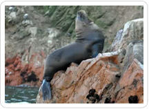 A sea lion suns himself on the rocky shoals of the Ballestas Islands.