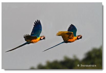 Selva de Tambopata: Imagen de dos papagayos volando