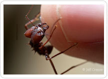 Perunature Jeff Cremer Photographer Ant