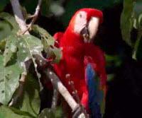 Guacamayo rojo y azul del Manu