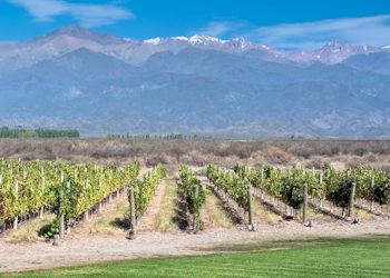 Vineyard in Mendoza, Argentina, the main producer of Malbec wine